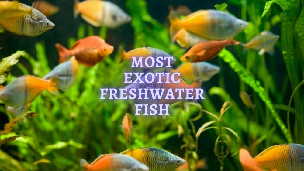 10 most exotic freshwater fishes