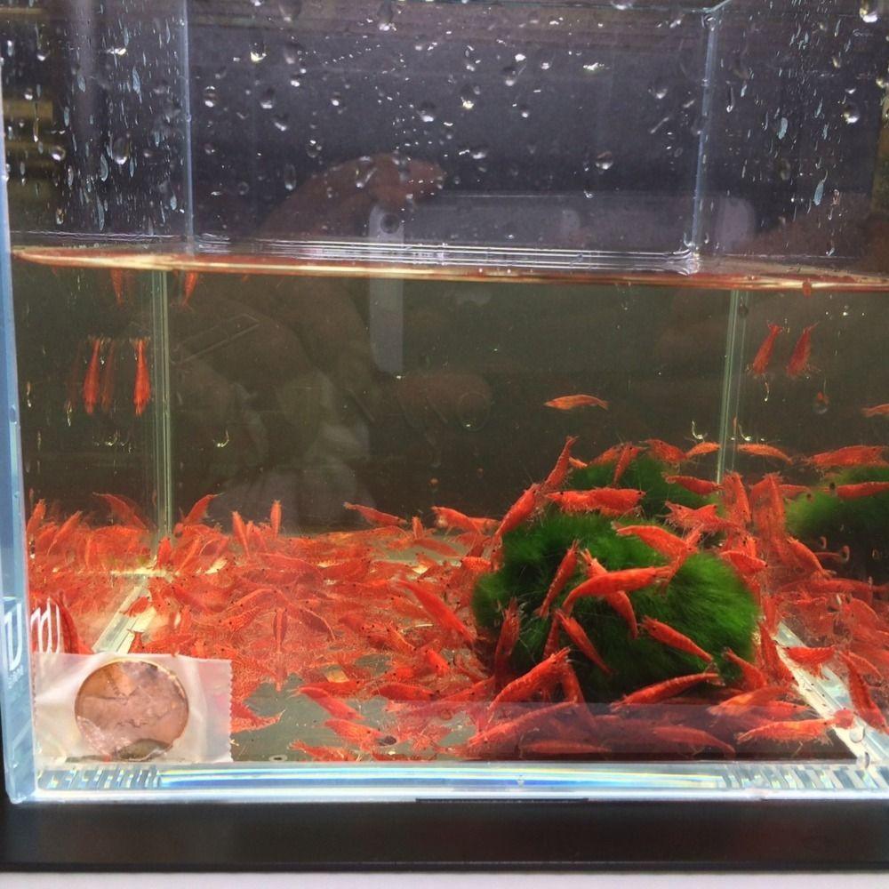cherry shrimp fish tank