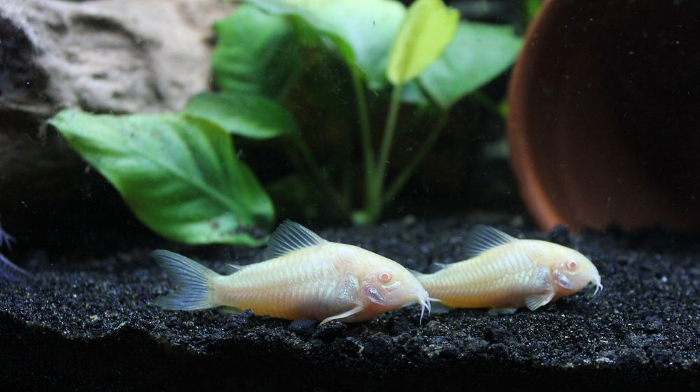 Corydoras best freshwater aquarium fish combination
