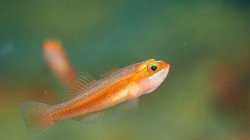 diamond watchman goby popular fish for saltwater aquarium