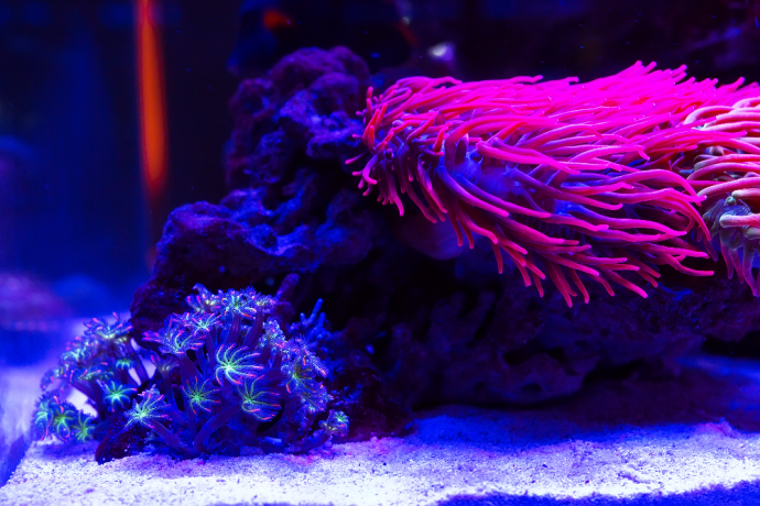 How do you know when your Tank is ready for an Anemone?