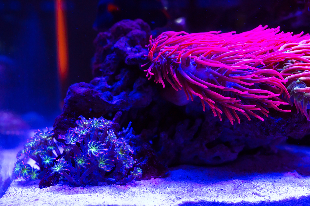 how do you know when your tank is ready for an anemone
