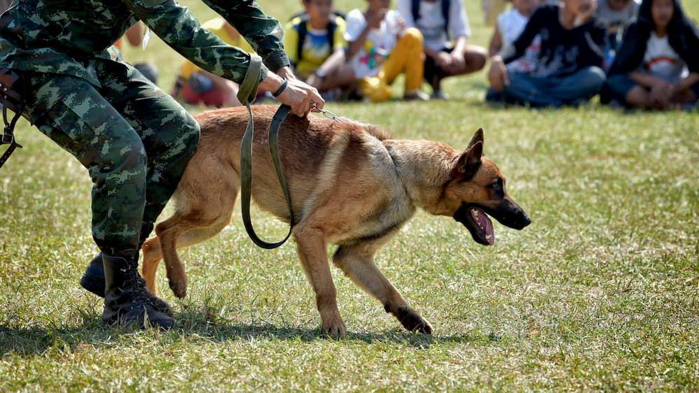 adopt retired military dog