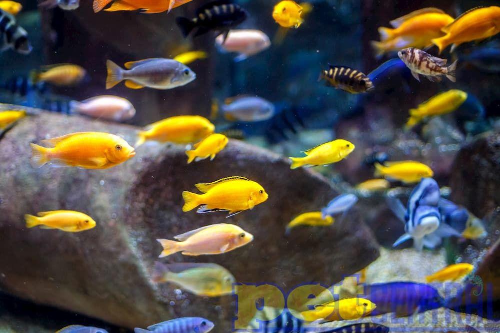 african cichlid community fish tank