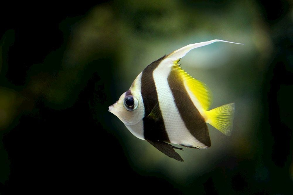 angelfish fish