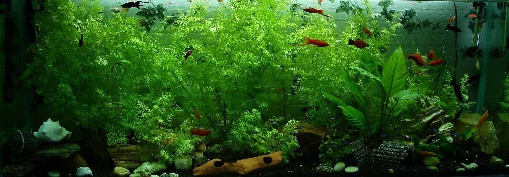 what is a good ammonia level for freshwater fish
