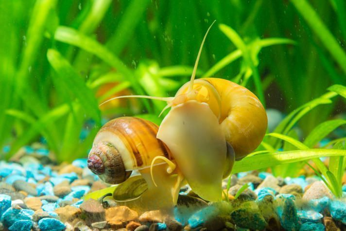 are snails good for freshwater aquariums