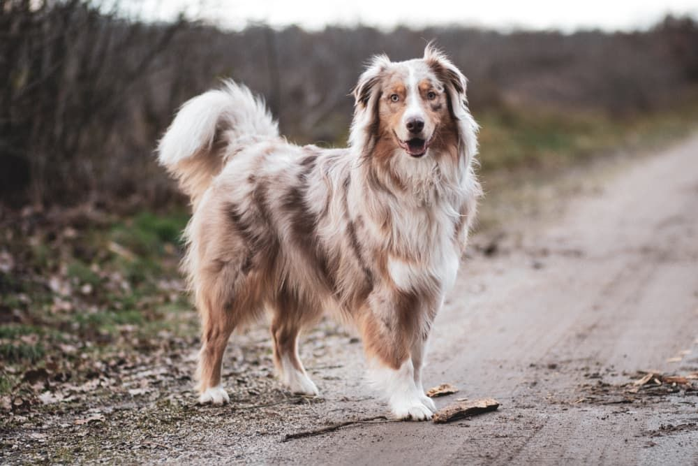 best brush type for australian shepherds