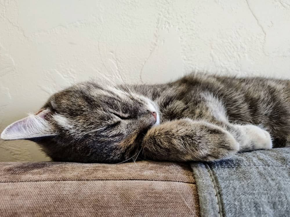best cbd oils for cancer in cats