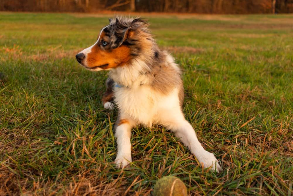 best dog brush for australian shepherd