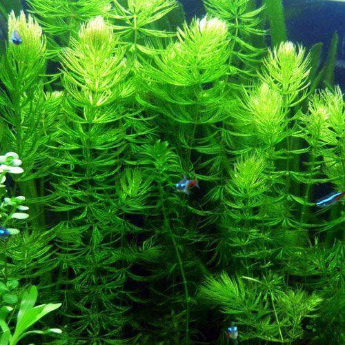 best floating plant hornwort