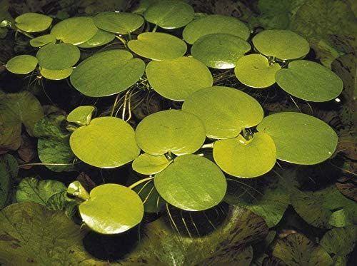 best floating plants amazon frogbit