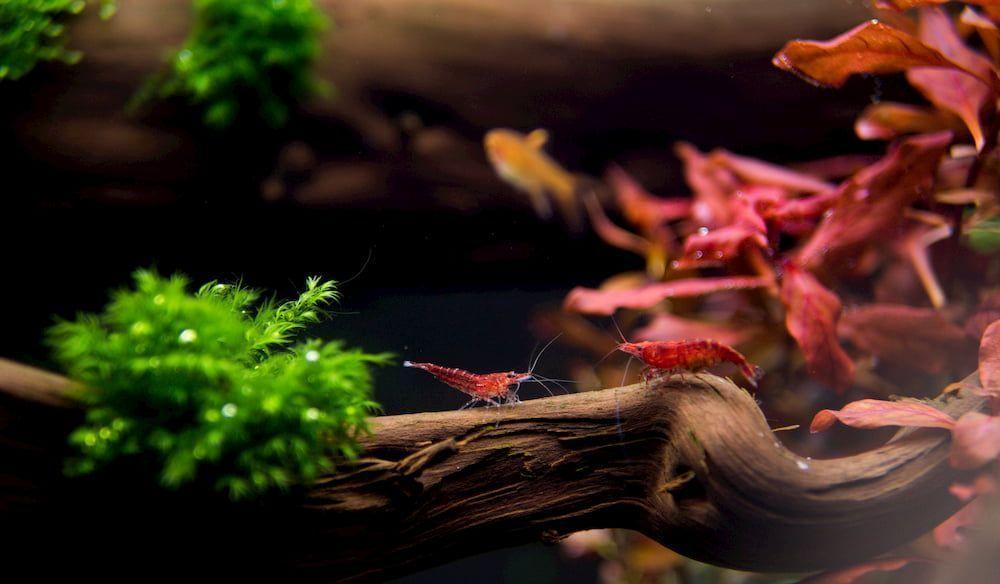 best freshwater shrimps for my aquarium