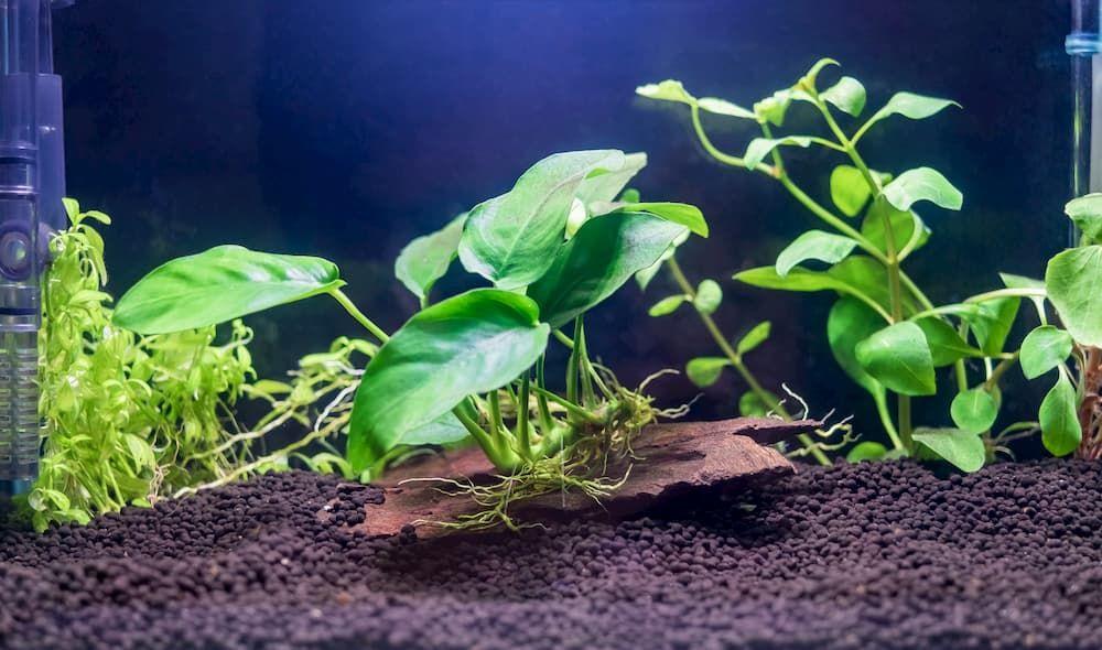 best plant for freshwater aquarium