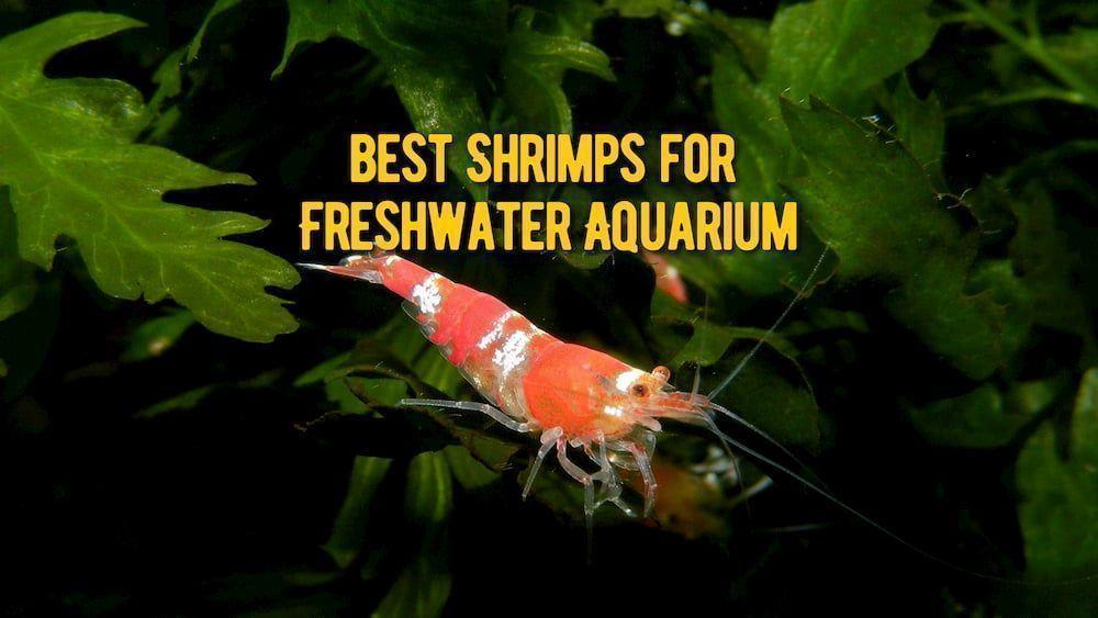 best shrimps for freshwater aquarium review