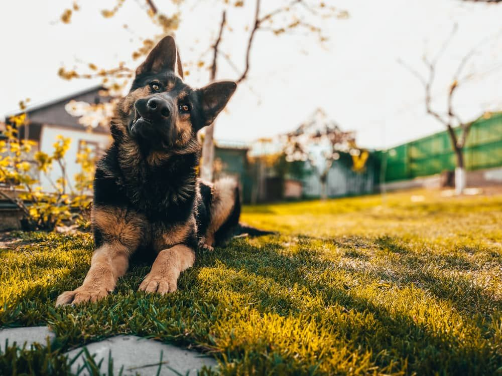 best toys for german shepherd dogs