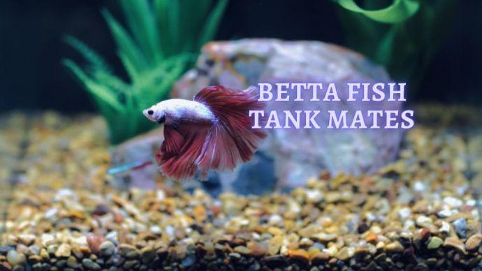 Betta Fish Tank Mates