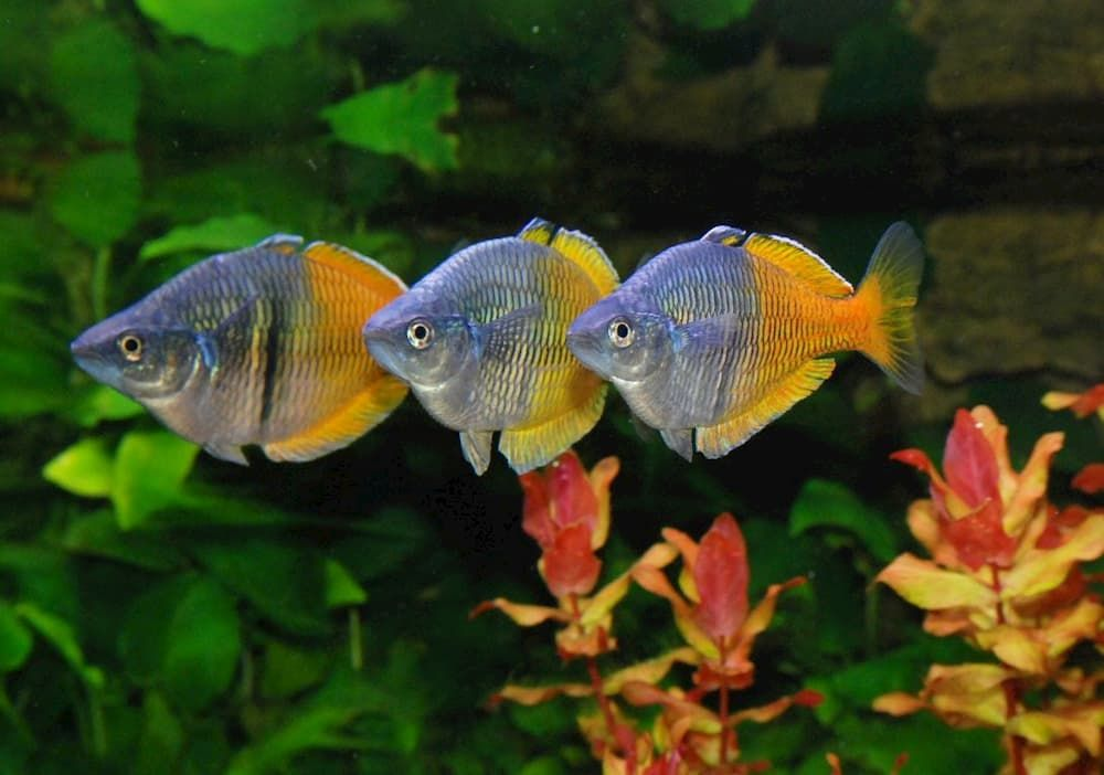 boesemani rainbowfish for tropical community aquarium
