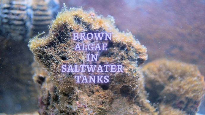 Brown Algae In Saltwater Tanks