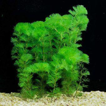 cabomba caroliniana best floating plants for aquarium