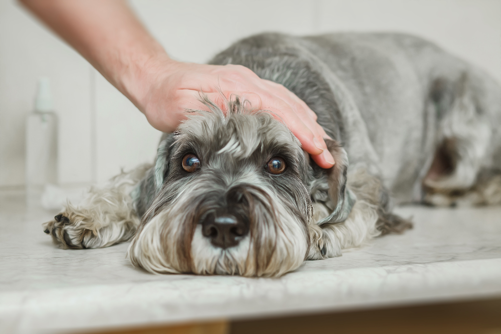 can a dog get parvovirus twice
