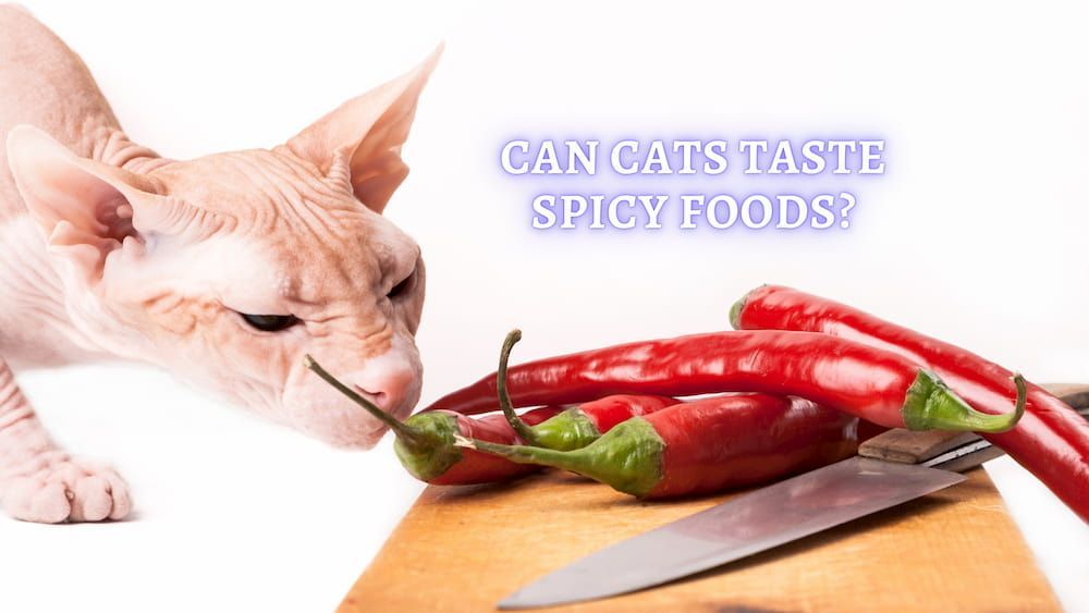 can my cat taste spicy food