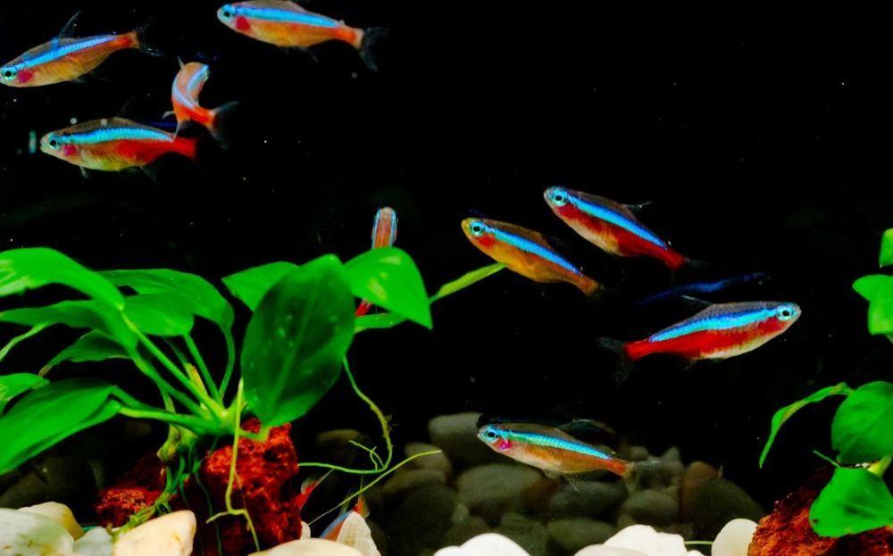 cardinal-tetra-for-bes-freshwater-aquarium-combination