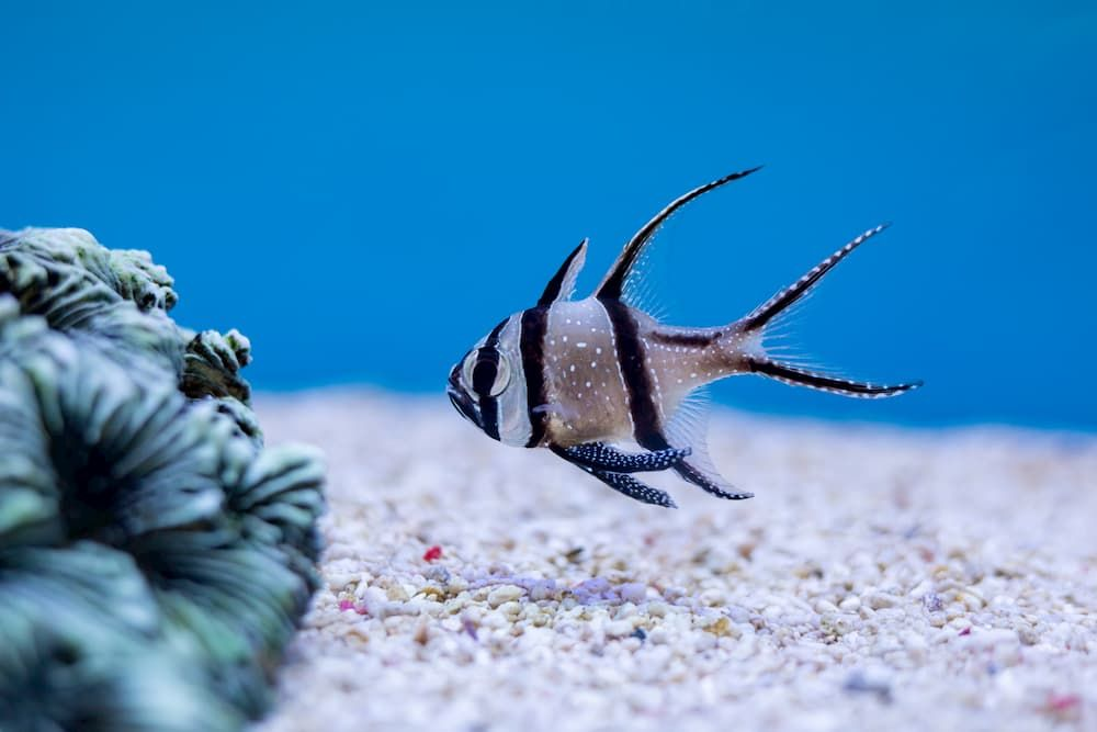 cardinalfish easy marine fish to breed