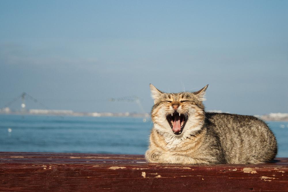 cat lost voice
