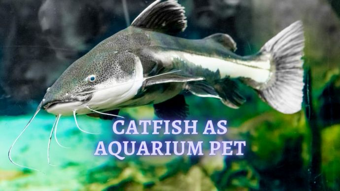 Can you have a Catfish as a Pet?