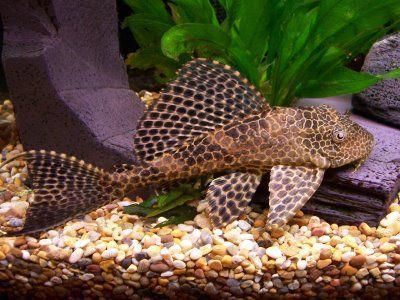 catfish plecostomus
