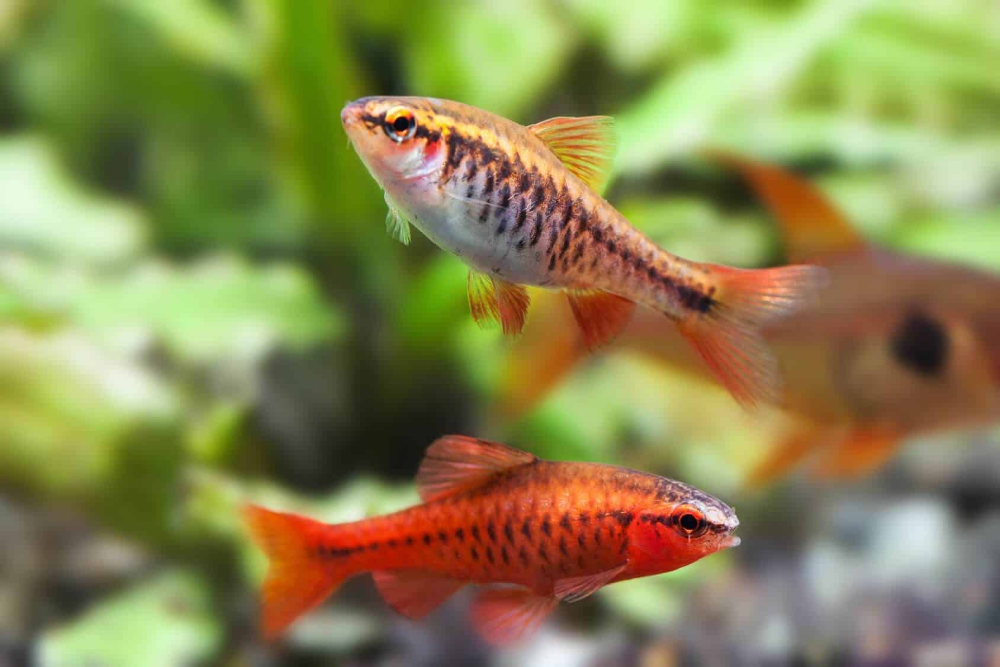 cherry-barb-fish-for-the-best-freshwater-aquarium-combination