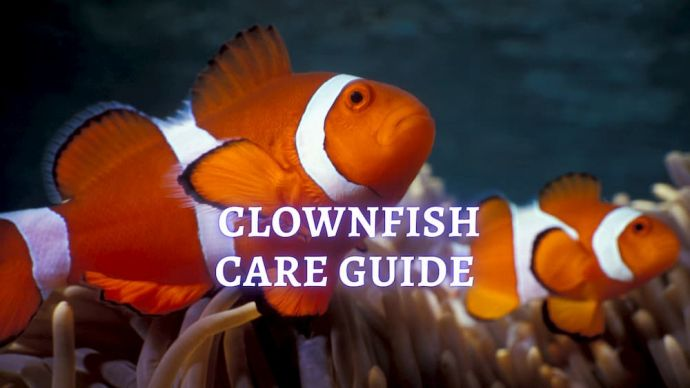 clownfish care