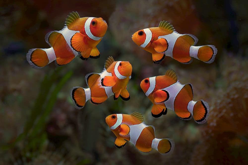 clownfish easy marine fish to breed