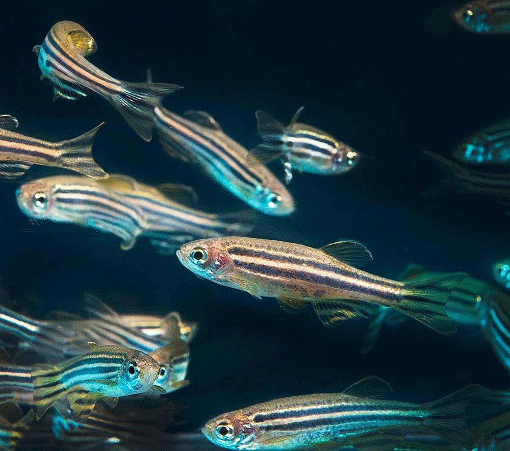 danio rerio for best freshwater fish combination