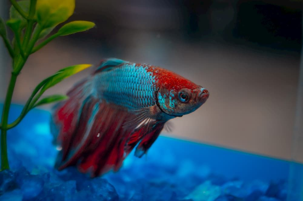 diet requirements for betta fish