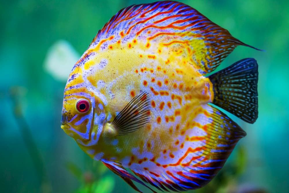 discus fish is one of most exotic freshwater fish