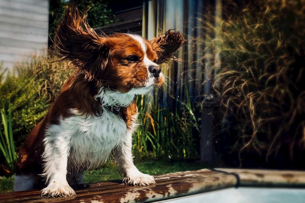 diy dog ear cleaning solutions