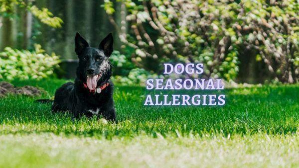 dog seasonal allergies