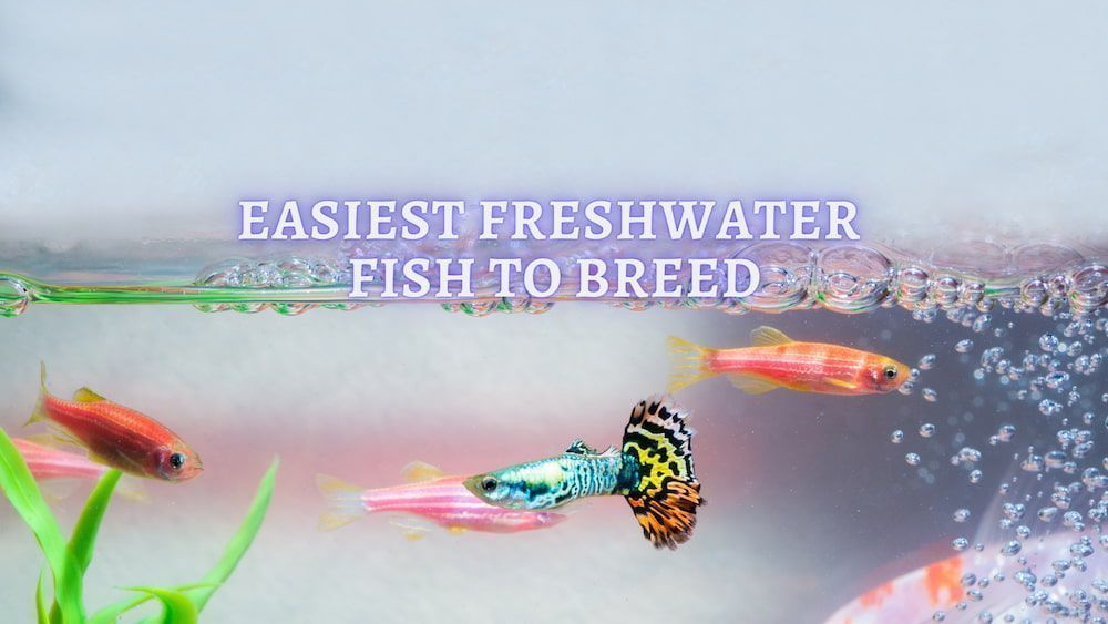easiest freshwater fish to breed