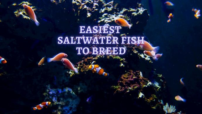easiest saltwater fish to breed