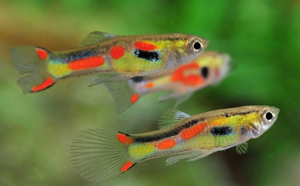 endlers fish