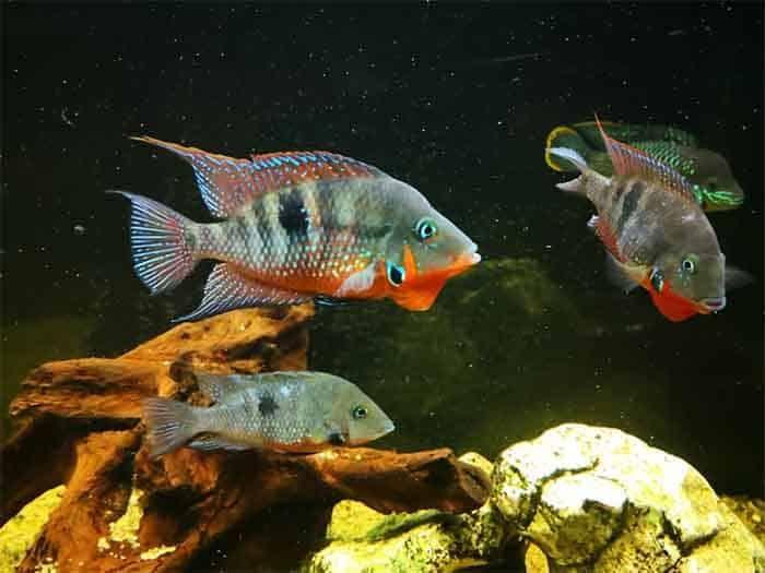 firemouth cichlids easy breeding