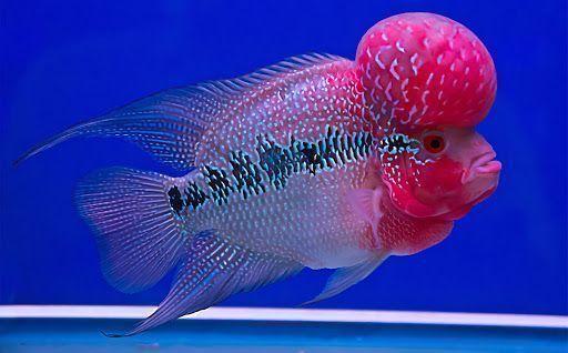 flowerhorn cichlid most exotic freshwater fish