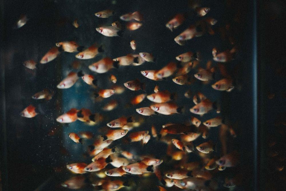 guppy fish tank mates