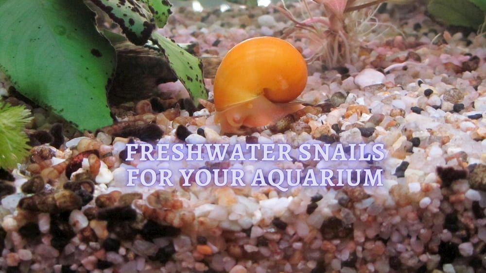 freshwater snails for your aquarium