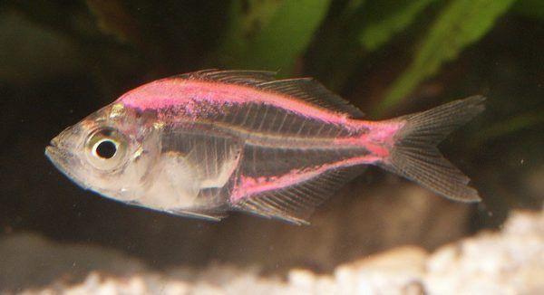 glassfish freshwater aquarium fish