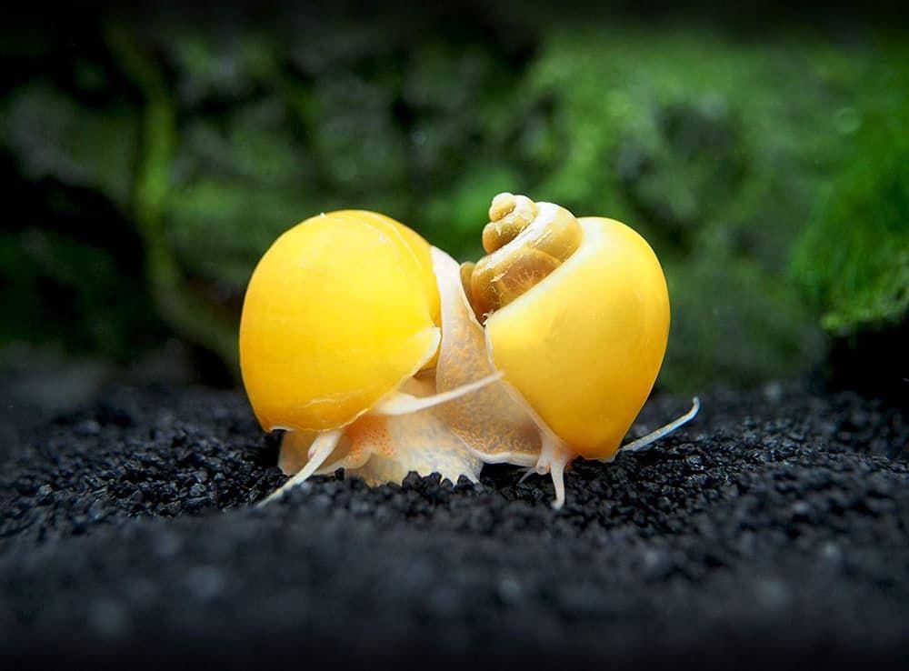 golden mystery snail for freshwater aquarium