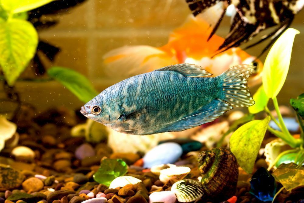 gourami fish for community fish tank