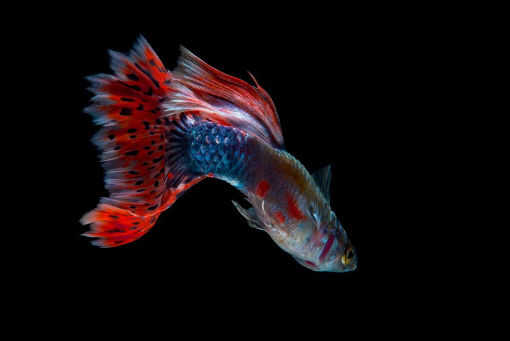 guppy fish for best freshwater aquarium combination